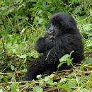 Young Gorilla Sat Feeding