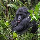 Mountain Gorilla Sitting in Rain