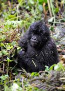 Young Mountain Gorilla Smiling