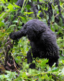 Inquisitive Young Gorilla