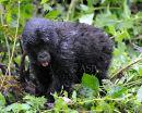 "Baby Mountain Gorilla ""Cheeky"""