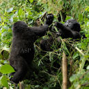 Young Mountain Gorilla's Playing