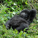 Young Gorilla - Time to Relax ...