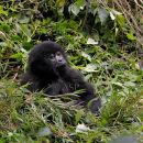 """Young Mountain Gorilla """"Thinking"""""""