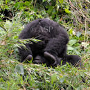 Upside Down Gorilla