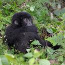 Young Mountain Gorilla Staring & Thinking