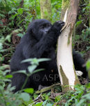 Mountain Gorilla Stripping Tree & Feeding