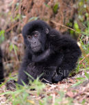 Young Mountain Gorilla Sitting