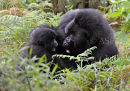 Silverback & Young Mountain Gorilla Playing