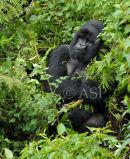 Silverback Mountain Gorilla - Contemplating?