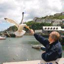 Herring Gull Taking Ice Cream Cone