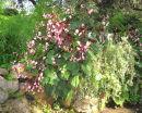 Ischia Gardens Flowers