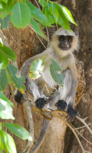 Langur Monkey In Shaded Tree