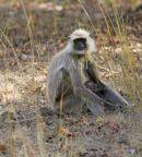 Langur Monkey Mother & Baby