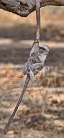 Young Langur Monkey
