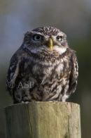 Little Owl on Post