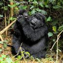 Mountain Gorilla Mother & Young Gorilla