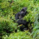 Mountain Gorilla - Silverback In Thinking Mood