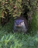 Otter Emerging from Run