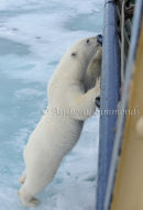 Polar Bear Reaching Up The Side Of Ship