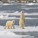 Inquisitive Polar Bear Mother & Cub