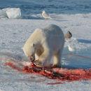 Polar Bear Feeding On Seal - 1