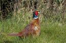 Cock Pheasant on Alert