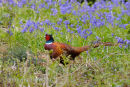 Cock Pheasant in Bluebells
