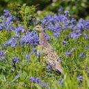 Hen Pheasant in Bluebells