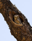 Spotted Owl At Nest