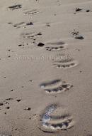 Polar Bear Footprints In The Sand