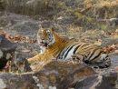 Tiger on Rocks