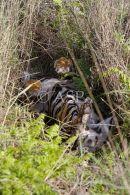 Tiger Resting in Grass