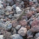 Lizard on Mount Vesuvius
