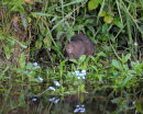Water Vole 'Sniffing' Vegetation