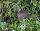 Water Vole About To Feed