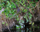 Water Vole About To Enter River
