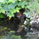Water Vole Feeding 'Under' Cover
