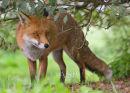 Peeping Red Fox