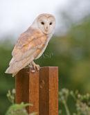 Barn Owl Portrait - 2