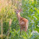 Roe Deer in Cover Crop (Maize)
