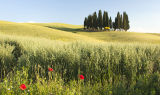 Cypress Trees Val D'Orcia