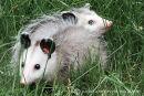 Virginia Oposum