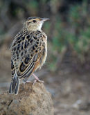 Rufous Naped lark