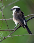 White-Crowned Shrike