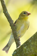 American goldfinch female