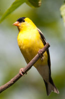 American goldfinch male