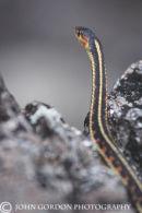 CoastGarter snake