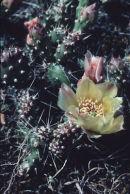 Prickly pear cactus.
