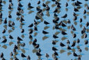 long-billed dowitcher flock